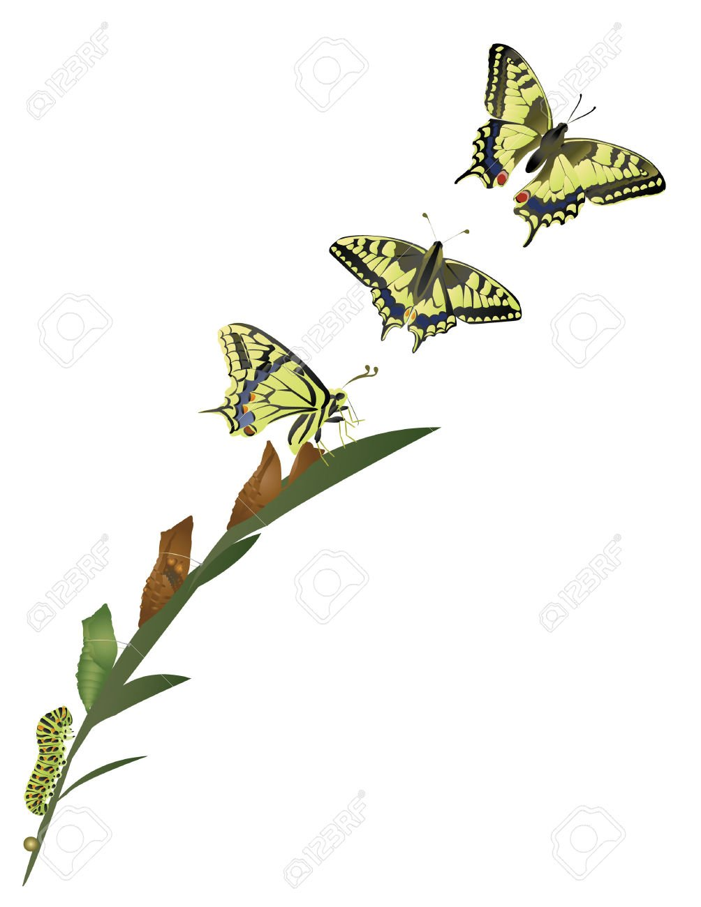 25967032-Life-cycle-of-butterfly--Stock-Vector-butterfly-caterpillar-metamorphosis